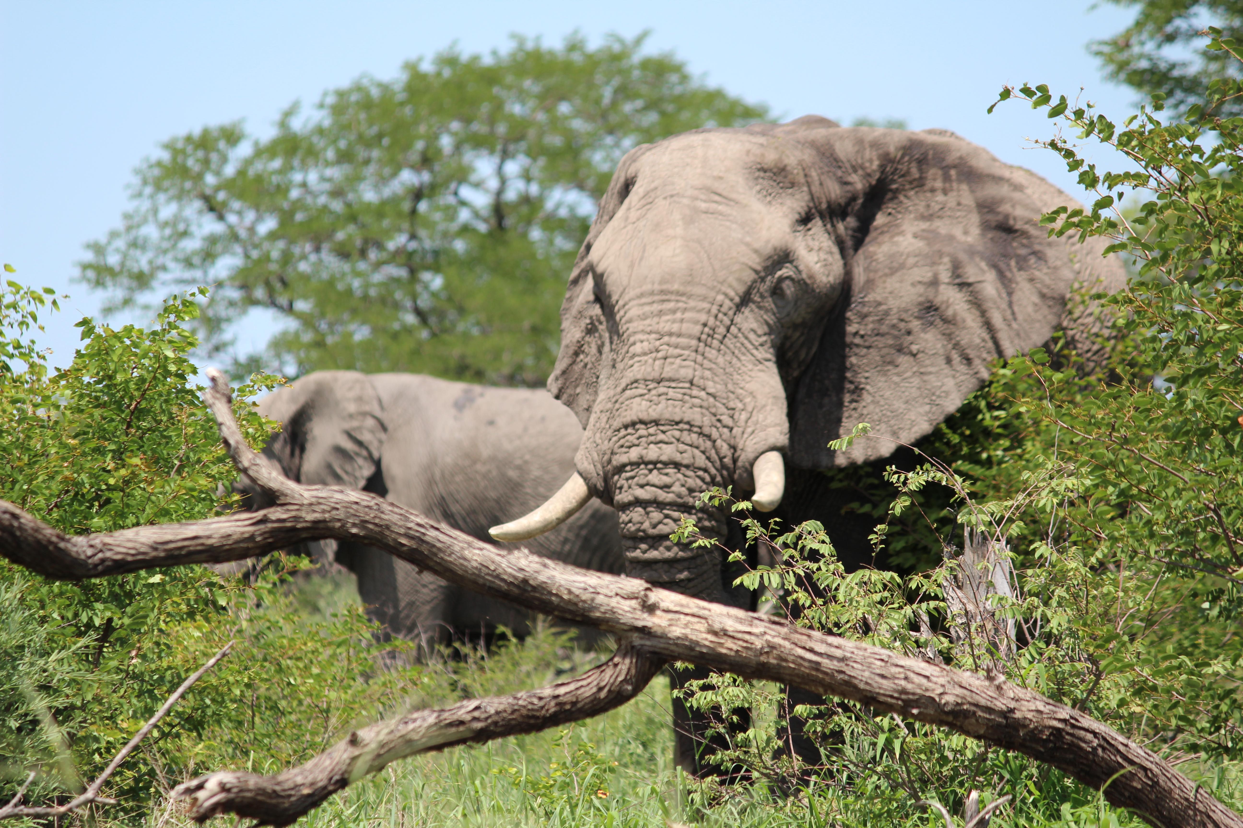 Krüger Park Safari in Deutsch - natürlich mit Südafrikas Elefanten