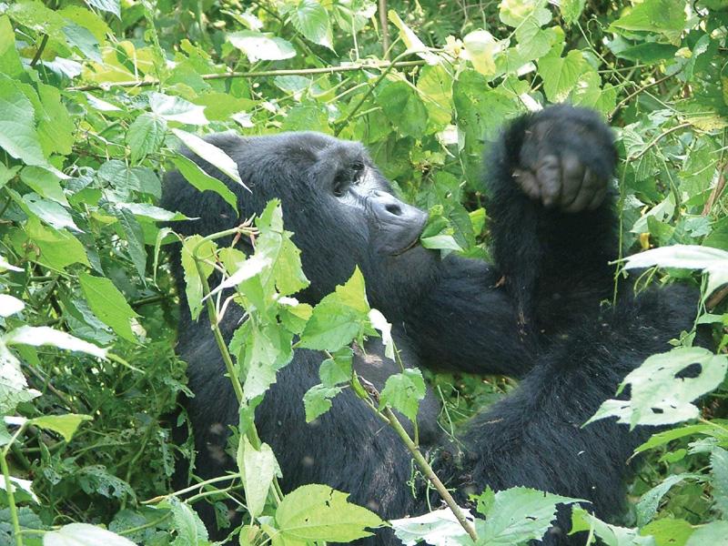 Uganda Camping Safari zu den Berg Gorillas