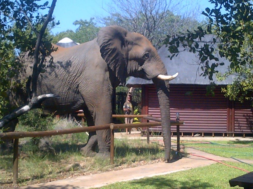 Elefant im Kruger Park Camp - Wildlife Safari in Südafrika